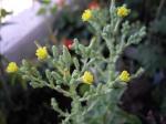 flor-enciam-groc
